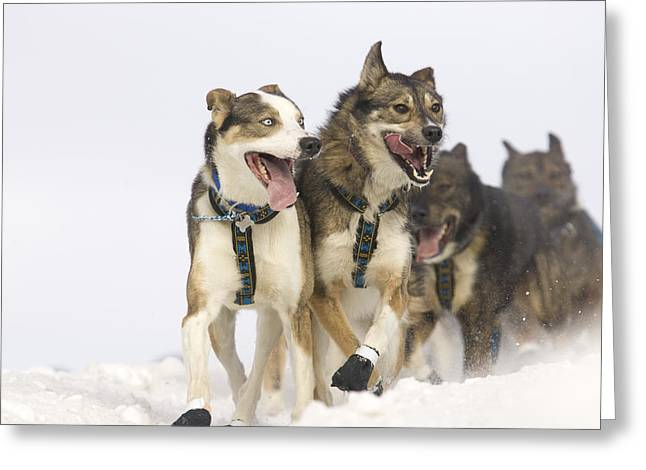 Michael Suprenants Lead Dogs Crest The Greeting Card by Jeff Schultz