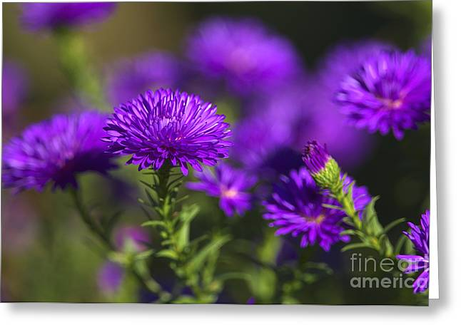 Asters Greeting Cards - Michaelmas Daisy Greeting Card by Sharon  Talson