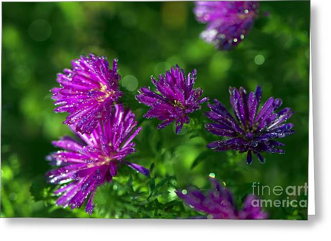 Aster Greeting Cards - Michaelmas Daisy with Drops Greeting Card by Sharon  Talson