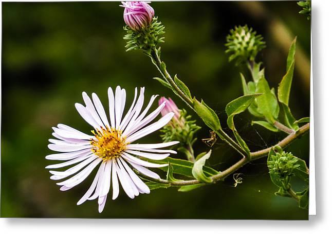 Symphyotrichum Novae-angliae Greeting Cards - Michaelmas Daisy Greeting Card by Zina Stromberg