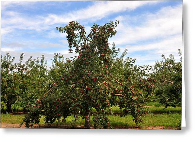 Local Food Greeting Cards - Michigan Apple Tree Greeting Card by Diane Lent