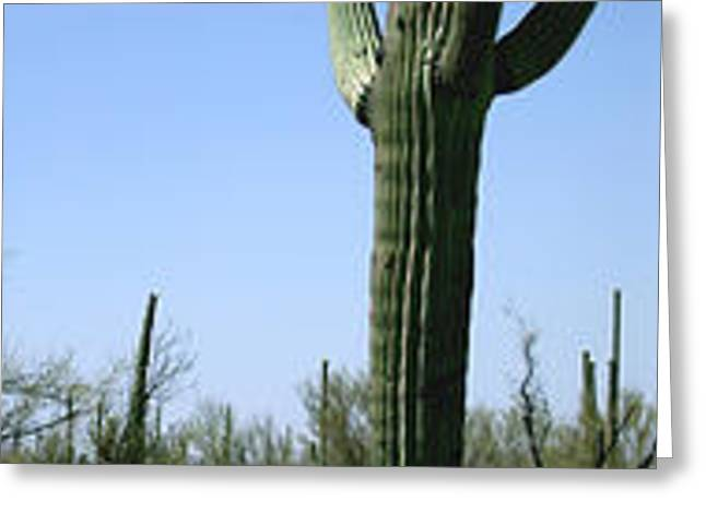 Bare Trees Greeting Cards - Mid Section View Of Cactus, Saguaro Greeting Card by Panoramic Images