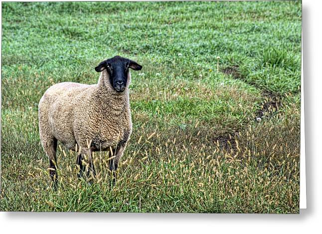 Blackface Greeting Cards - Middle Child - Blackfaced Sheep Greeting Card by Nikolyn McDonald