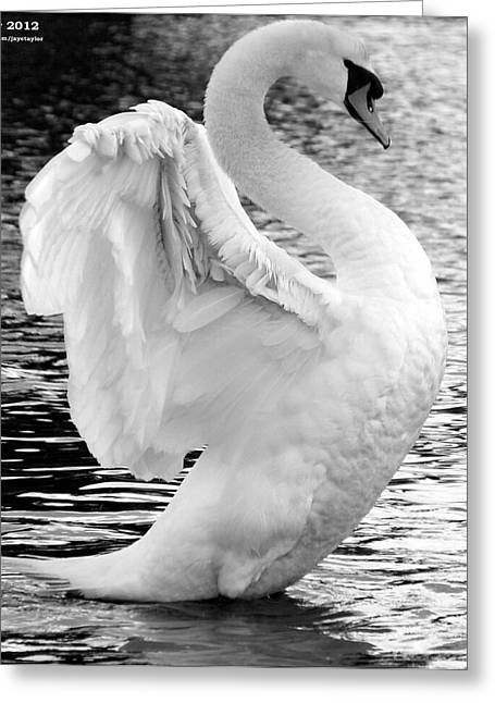 Swans... Greeting Cards - Midflap Greeting Card by JT Photography
