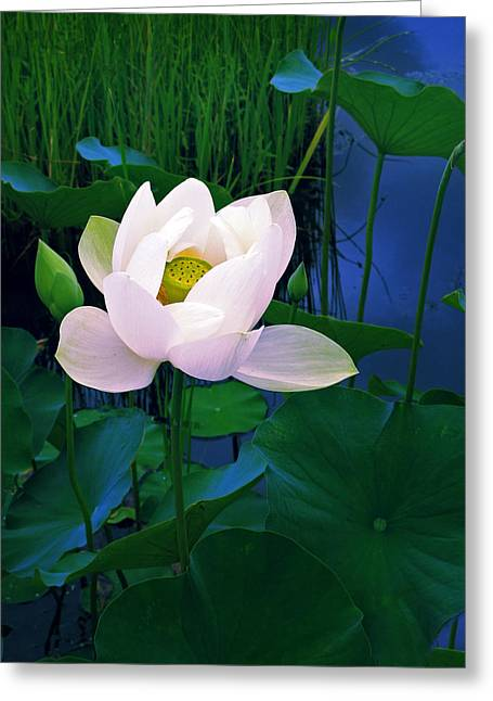 Lotus Leaves Greeting Cards - Midnight Lotus Greeting Card by Jessica Jenney