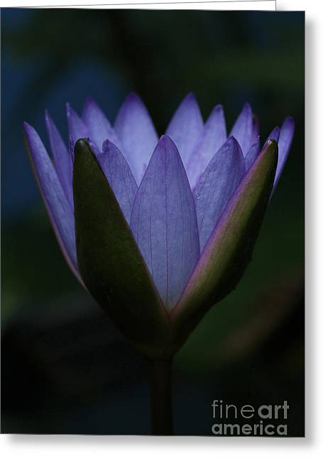 Flower Blossom Greeting Cards - Midnight Water Lily Greeting Card by Judy Whitton