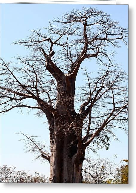 Baobab Greeting Cards - Mighty Baobab Greeting Card by Amanda Schuster