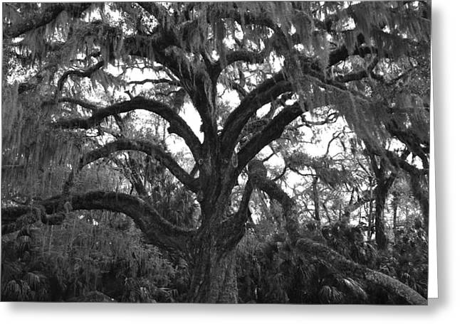 Kimberly Oegerle Greeting Cards - Mighty Oak Greeting Card by Kimberly Oegerle