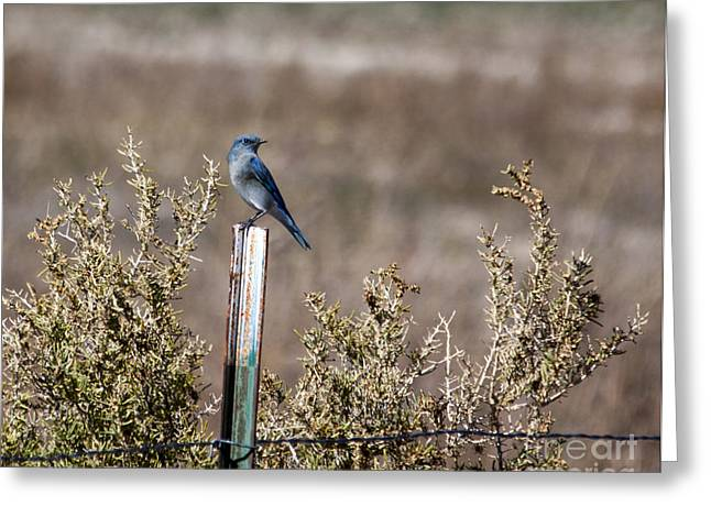 Bluebird Posters Greeting Cards - Migrating Bluebird Greeting Card by Janice Rae Pariza