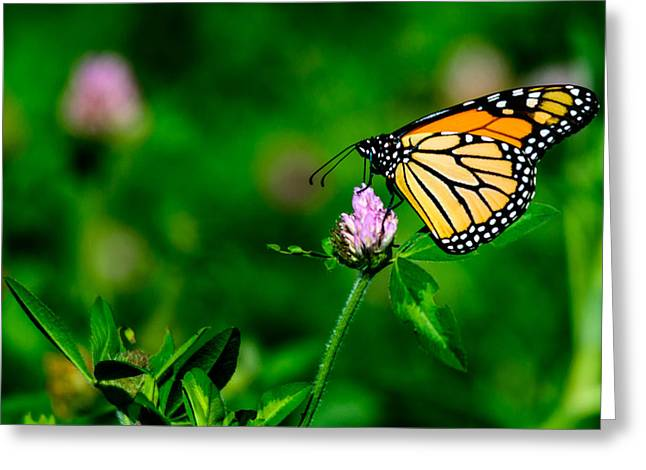 Nature Center Greeting Cards - Migrating Monarch Greeting Card by Randy Scherkenbach