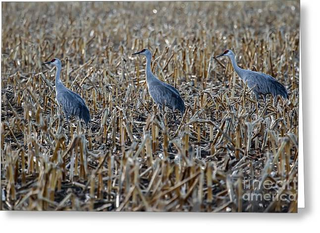 Migrating Sandhill Cranes Greeting Card by Robert Bales