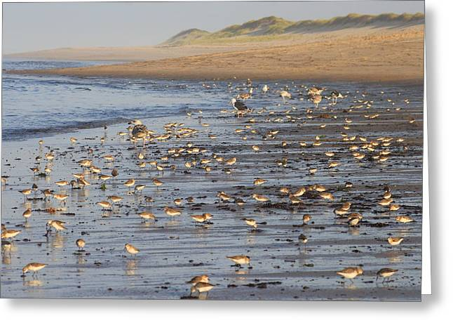 Shorebirds Greeting Cards - Migrating Shorebirds at Cape Cod National Seashore Greeting Card by John Burk
