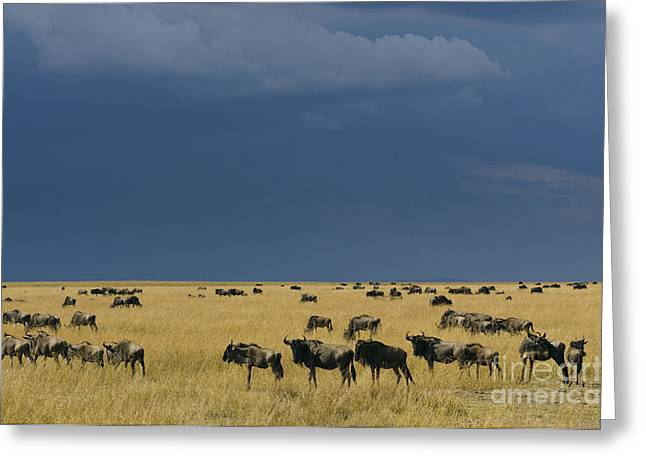 White Beard Greeting Cards - Migrating Wildebeests Greeting Card by John Shaw