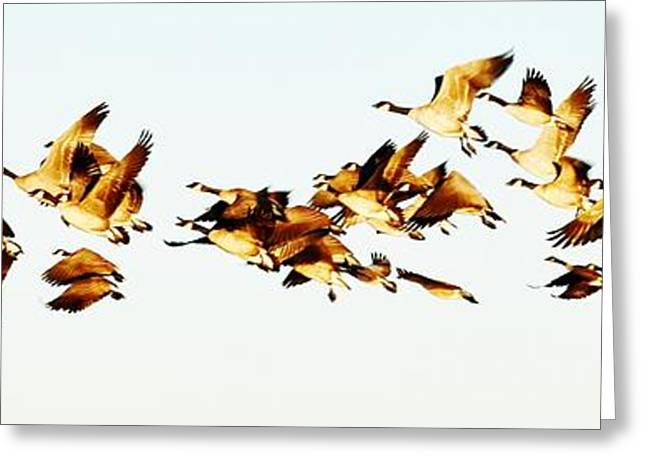 Water Fowl Greeting Cards - Migration 2 Greeting Card by Paulina Roybal