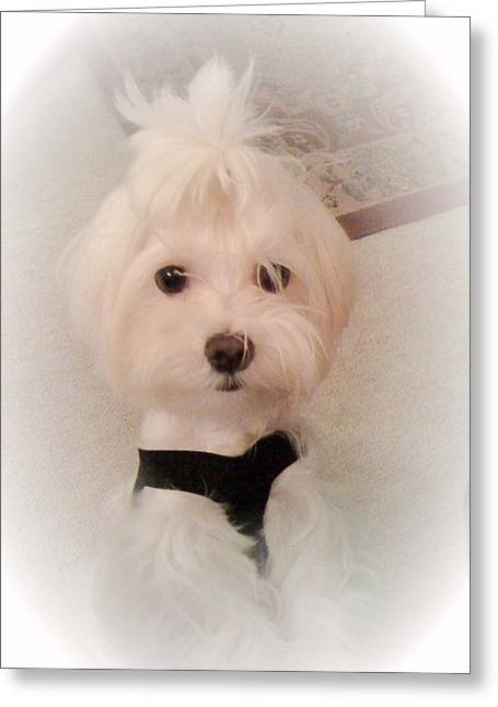 Toy Maltese Photographs Greeting Cards - Mikey Greeting Card by Susan Wilson