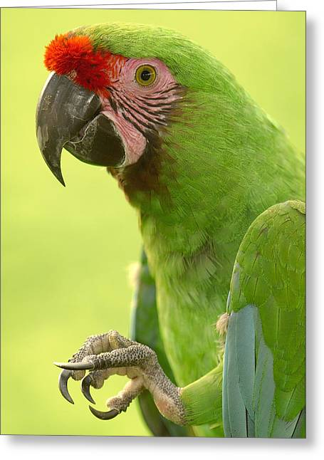 Macaw Profile Greeting Cards - Military Macaw Portrait Ecuador Greeting Card by Pete Oxford