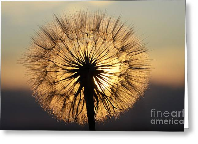Milkweed Greeting Cards - Beauty Of The Dandelion 2 Greeting Card by Bob Christopher