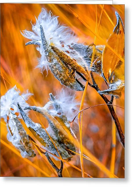 Swamp Milkweed Greeting Cards - Milkweed Greeting Card by Brian Stevens