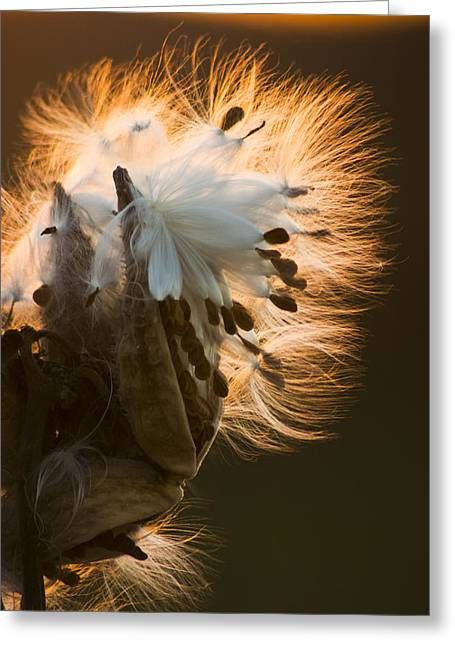 Interior Still Life Greeting Cards - Milkweed Seed Pod Greeting Card by Adam Romanowicz