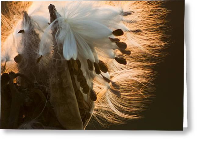 Milkweed Seed Pod Greeting Card by Adam Romanowicz