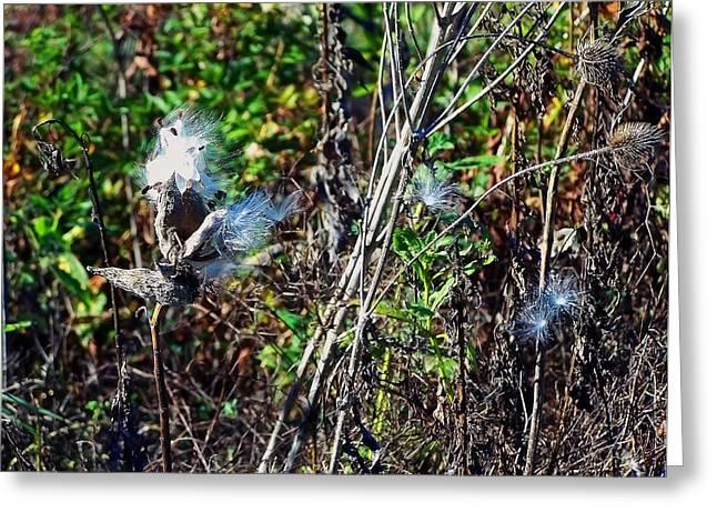 Photo Art Gallery Greeting Cards - Milkweed Seeds Greeting Card by Chris Flees
