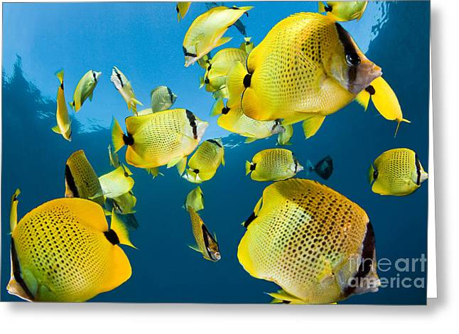 Reef Fish Photographs Greeting Cards - Millet Butterflyfish Greeting Card by David Fleetham