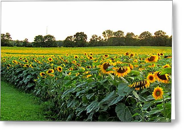 Millions Of Sunflowers Greeting Card by Danielle  Parent