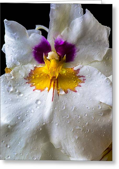 Moist Greeting Cards - Miltonia white orchid with dew Greeting Card by Garry Gay