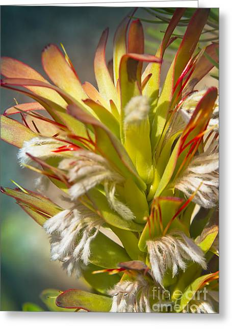 Mimetes Cucullatus - Proteaceae - Rooistompie Greeting Card by Sharon Mau