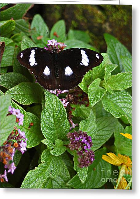 Tickseed Greeting Cards - Mimic Eggfly Greeting Card by Diane E Berry