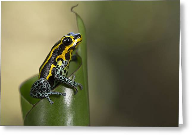 Mimic Poison Frog Amazon Peru Greeting Card by Cyril Ruoso
