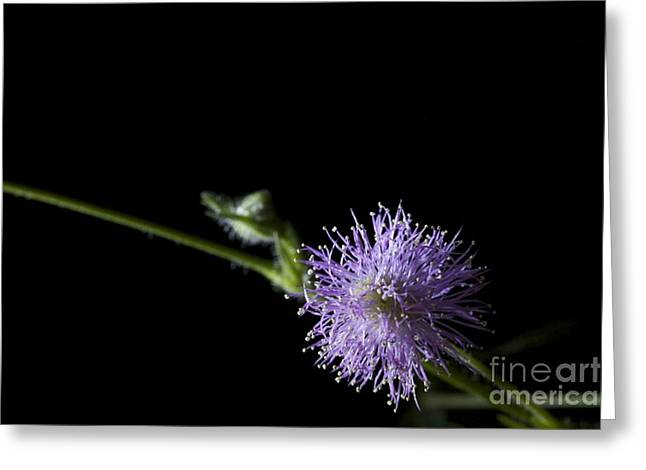 Pudica Greeting Cards - Mimosa pudica Greeting Card by Cheryl Hurtak