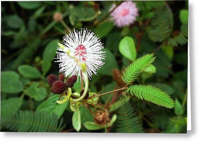 Pudica Greeting Cards - Mimosa pudica Greeting Card by Sudeshna Moharana