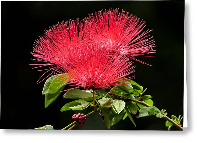 Beauty Greeting Cards - Mimosa with fruit Greeting Card by Zina Stromberg
