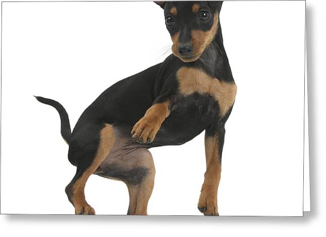 Minature Pinscher Puppy Greeting Card by Mark Taylor