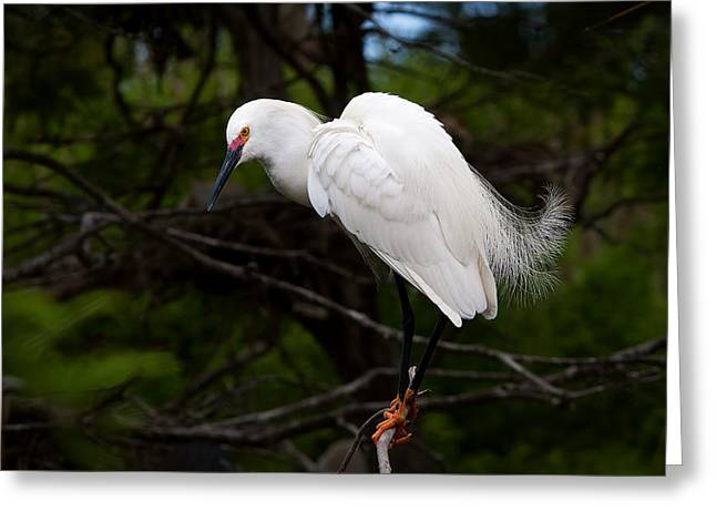 Snowy Egret Greeting Cards - Minding the Nest Greeting Card by Benjamin DeHaven
