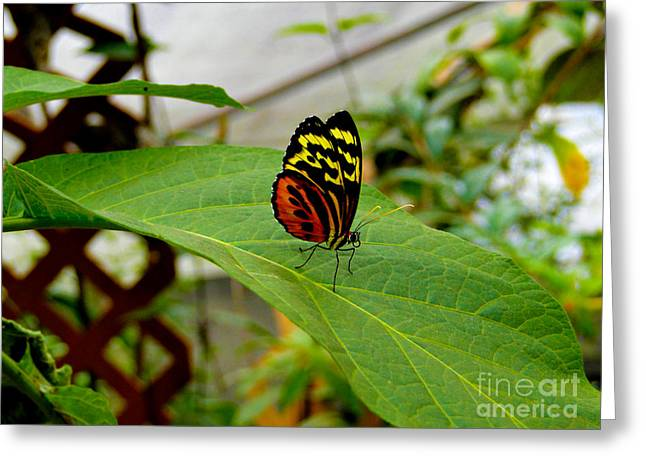 Canadian Photographer Greeting Cards - Mindo Butterfly Poses Greeting Card by Al Bourassa