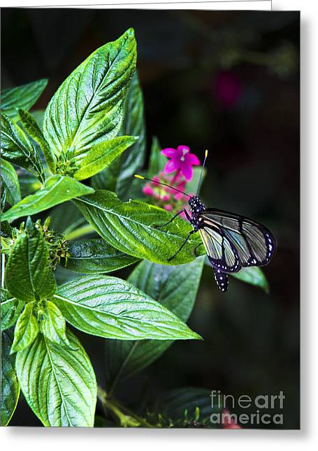 Flyer Greeting Cards - Mindo Ecuador Butterfly Hanging Around Greeting Card by Al Bourassa