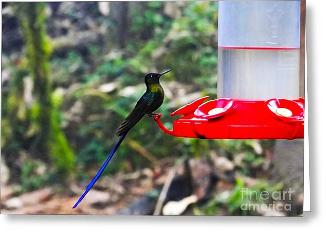 Hovering Greeting Cards - Mindo Violet Sylph Hummingbird Greeting Card by Al Bourassa