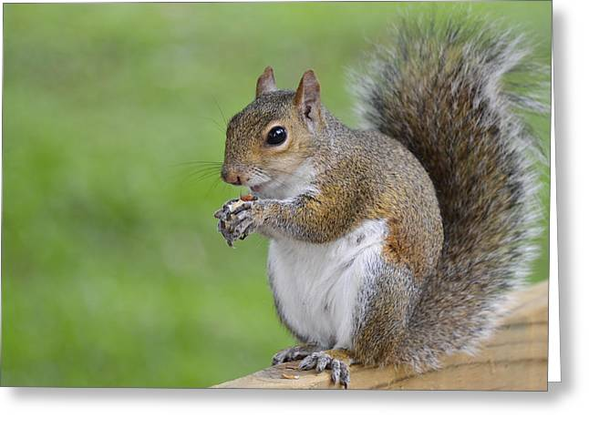 Sciurus Carolinensis Greeting Cards - Mine Greeting Card by Carolyn Marshall