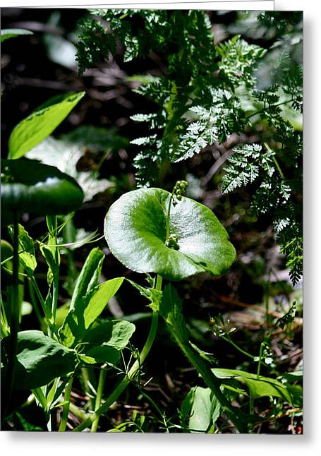 Forest Pyrography Greeting Cards - Miners Lettuce Greeting Card by DUG Harpster