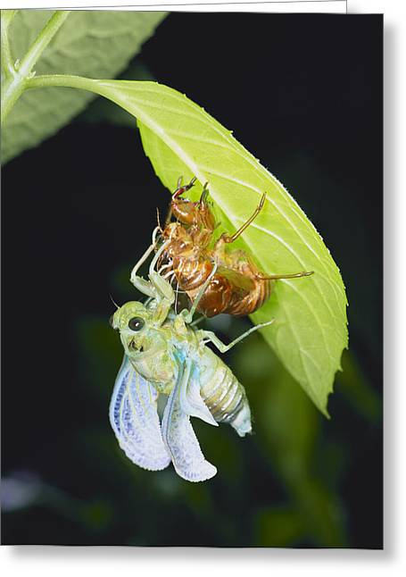 True Color Photograph Greeting Cards - Mingming Cicada Molting Greeting Card by Atsuo Fujimaru