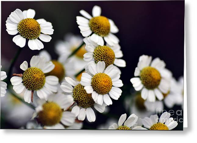 Reach Greeting Cards - Mini Daisies Greeting Card by Kaye Menner