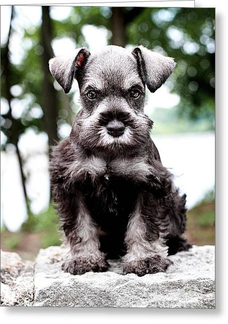 Cute Schnauzer Greeting Cards - Mini Schnauzer Greeting Card by Stephanie Frey