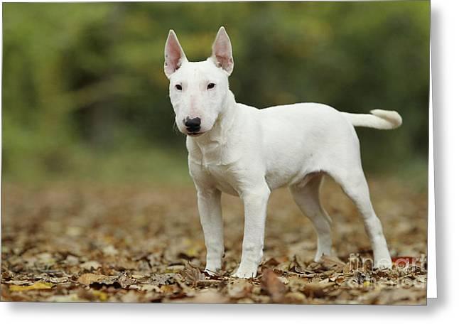 Leaves In Hair Greeting Cards - Miniature Bull Terrier Greeting Card by Jean-Michel Labat
