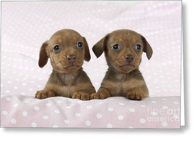 Miniature Dachshund Puppies Greeting Card by John Daniels