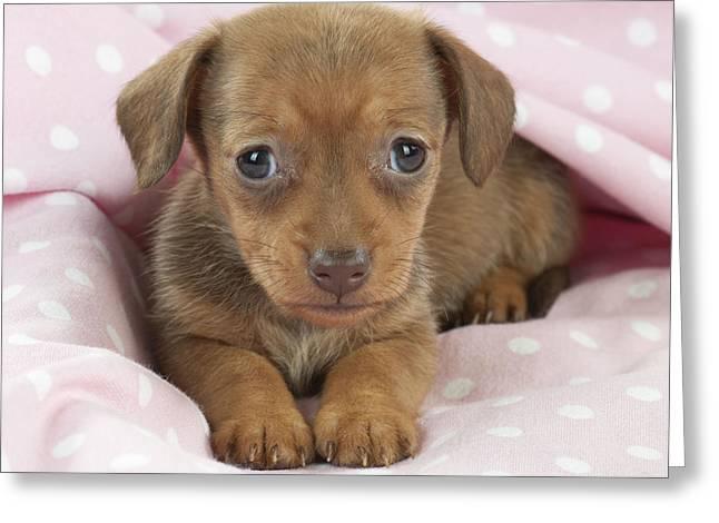 Miniature Dachshund Greeting Cards - Miniature Dachshund Puppy Greeting Card by John Daniels