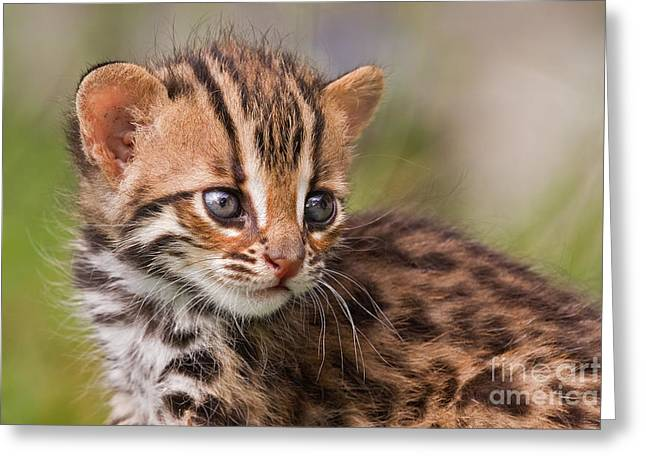 Small Cats Greeting Cards - Miniature Leopard Greeting Card by Ashley Vincent