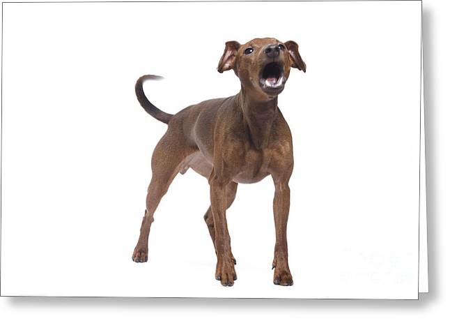 Toy Dog Greeting Cards - Miniature Pinscher Barking Greeting Card by Jean-Michel Labat