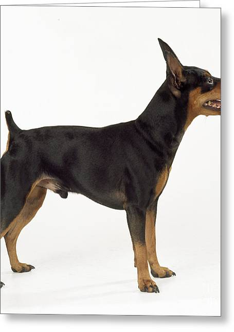 Toy Dog Greeting Cards - Miniature Pinscher Greeting Card by John Daniels